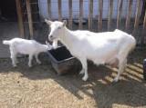 Kozie czworaczki w Bratkowicach